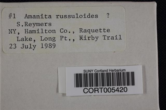 Amanita russuloides image