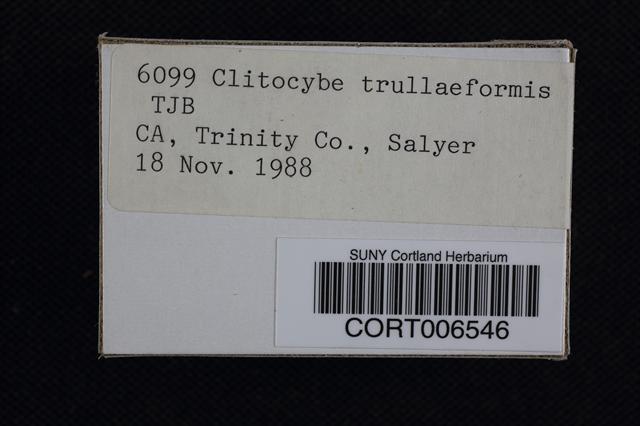 Image of Clitocybe trullaeformis