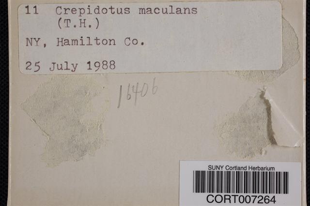 Image of Crepidotus maculans