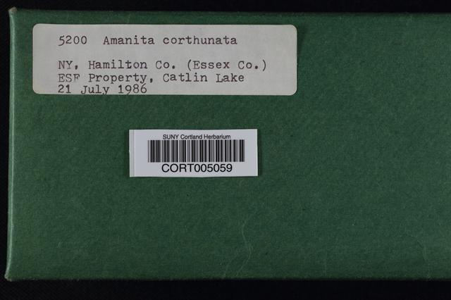 Image of Amanita cothurnata