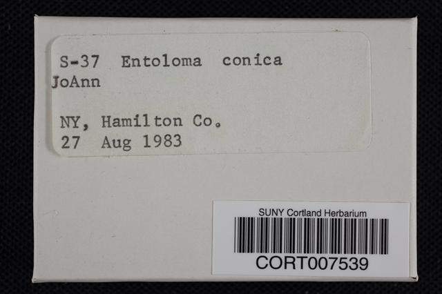 Image of Entoloma conicum