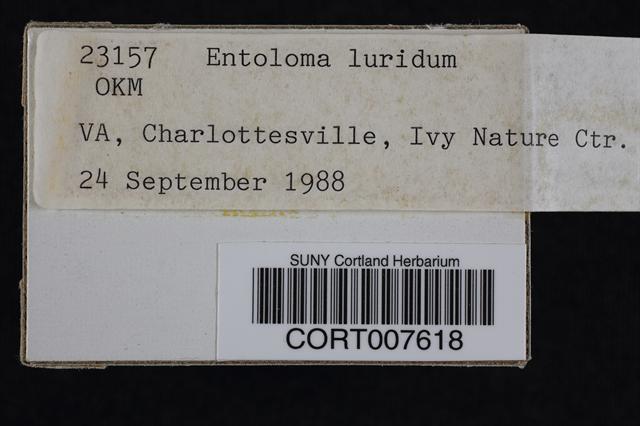 Entoloma luridum image