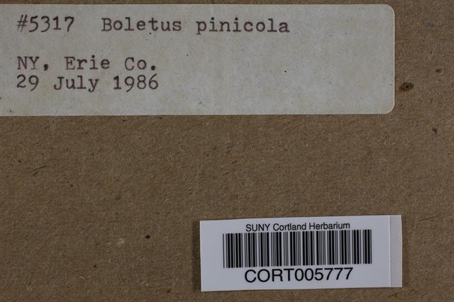 Image of Boletus pinicola