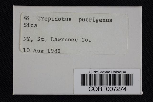 Image of Crepidotus putrigenus