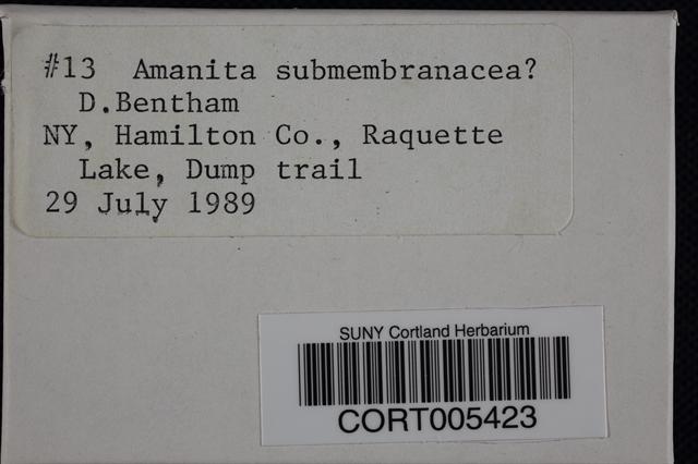Amanita submembranacea image