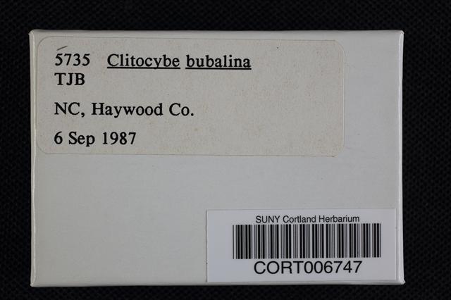 Image of Clitocybe bubalina