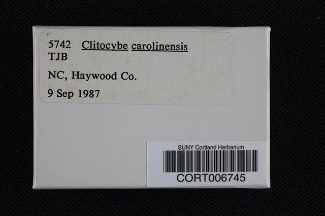 Clitocybe carolinensis image