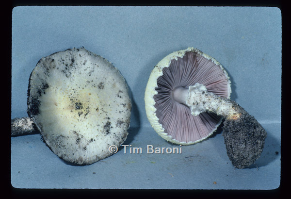 Image of Agaricus comptulus