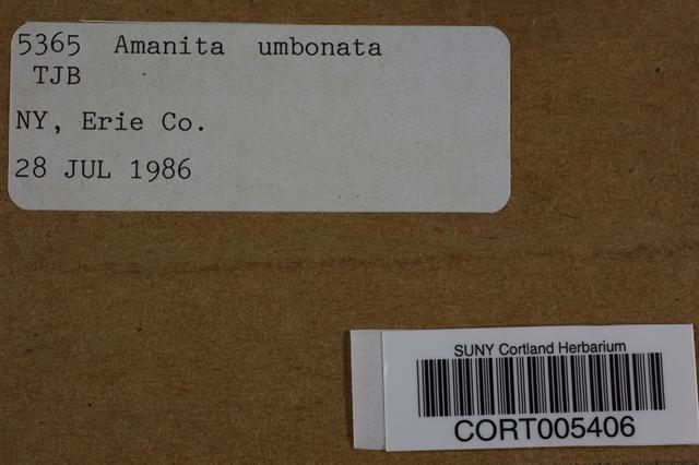 Image of Amanita umbonata