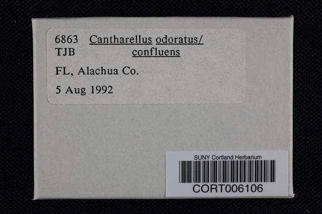 Image of Cantharellus odoratus