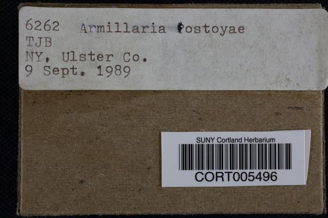 Armillaria gemina image