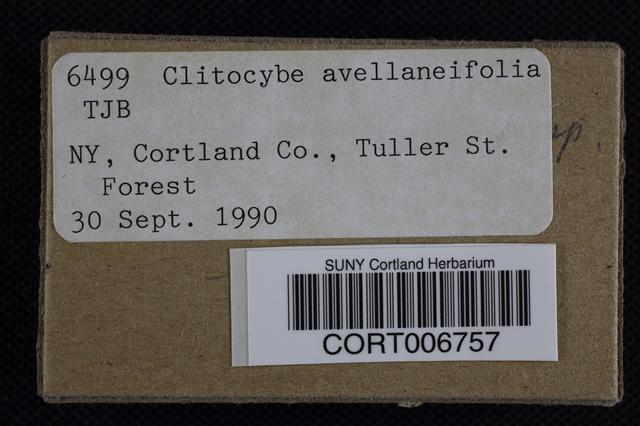 Image of Clitocybe avellaneifolia