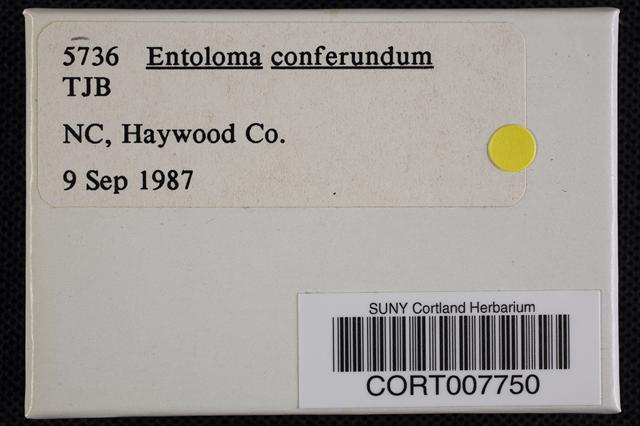 Image of Entoloma conferendum