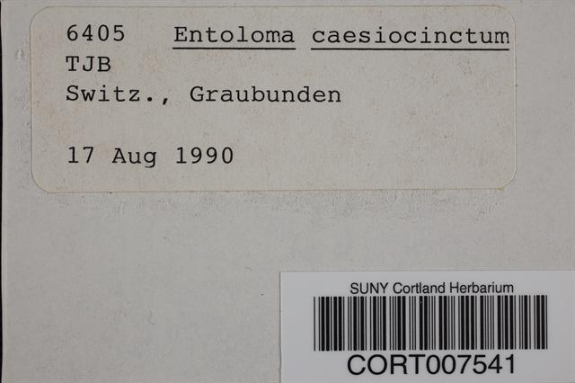 Image of Entoloma caesiocinctum