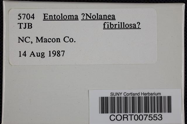 Image of Entoloma fibrosum
