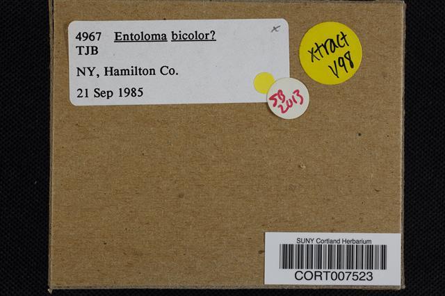 Entoloma bicolor image