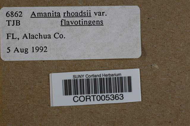 Amanita rhoadsii image