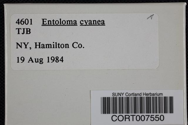 Image of Entoloma cyaneum