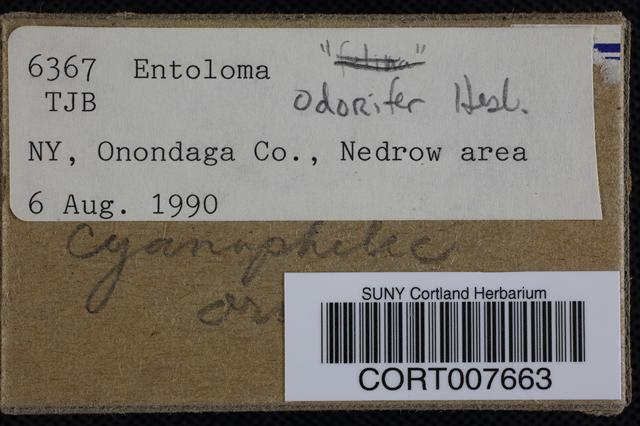 Entoloma odoriferum image