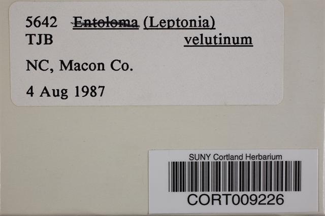 Image of Entoloma velutinum