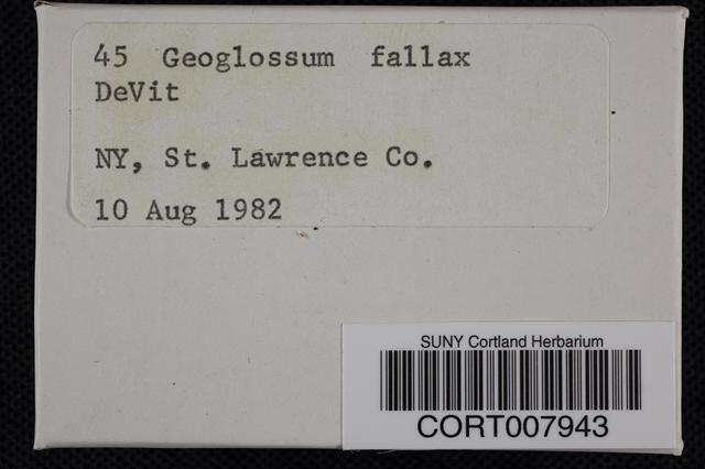 Image of Geoglossum fallax