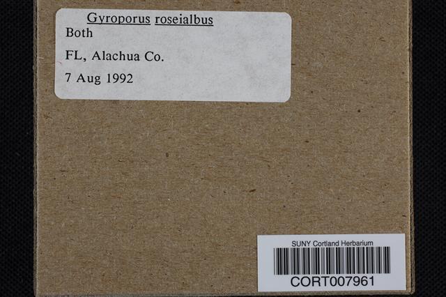 Gyroporus roseialbus image