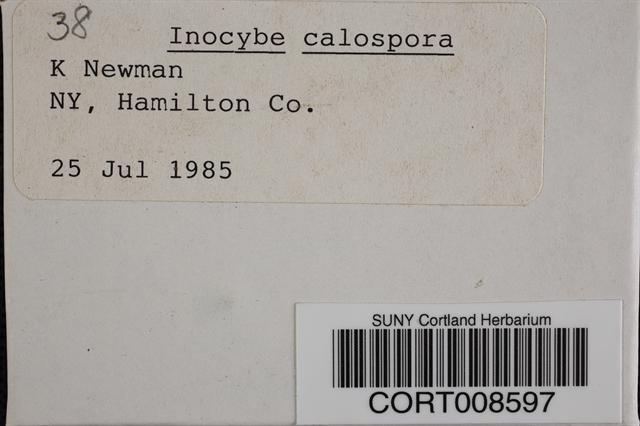 Inocybe calospora image
