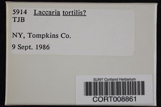 Laccaria tortilis image