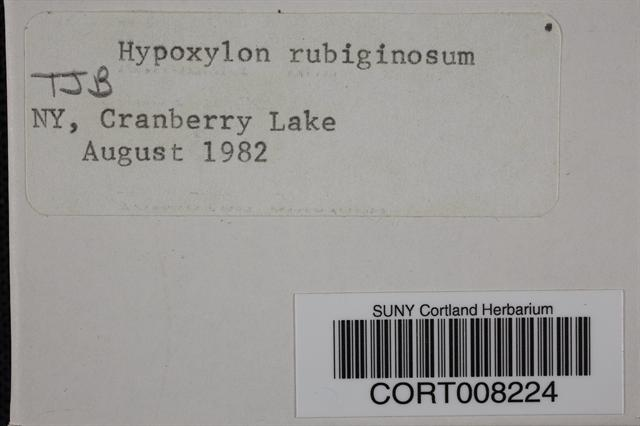 Hypoxylon rubiginosum image