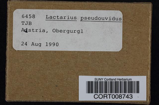 Image of Lactarius pseudouvidus