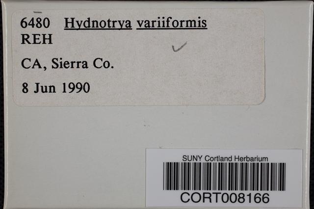 Hydnotrya variiformis image