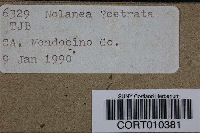 Image of Entoloma cetratum