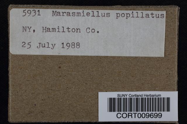 Image of Marasmiellus papillatus
