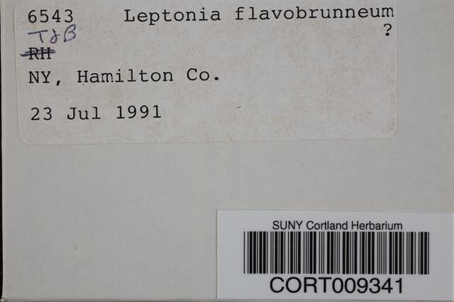 Image of Leptonia flavobrunnea