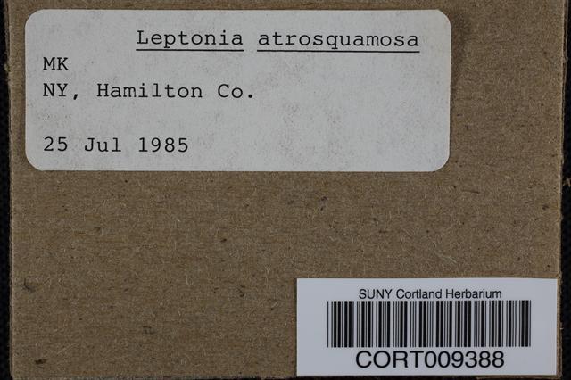 Image of Leptonia atrosquamosa