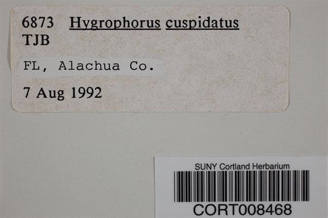Hygrophorus cuspidatus image