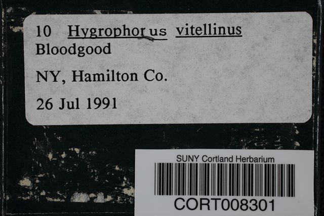 Image of Hygrophorus vitellinus