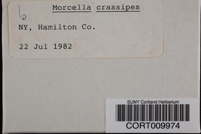 Image of Morchella crassipes
