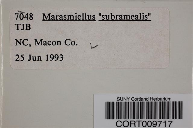 Image of Marasmiellus subramealis