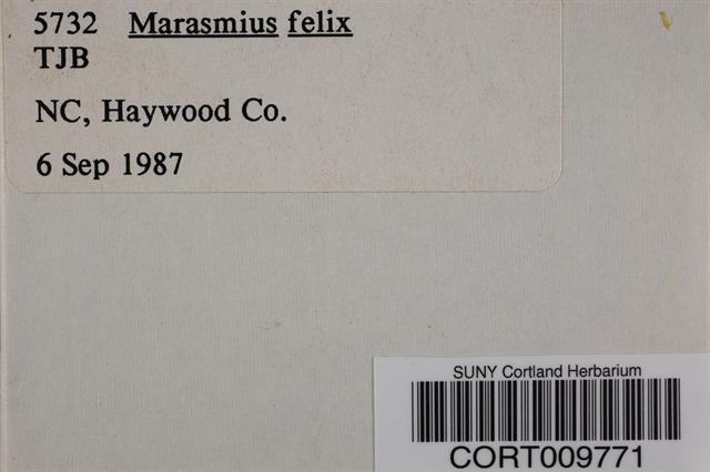 Marasmius felix image