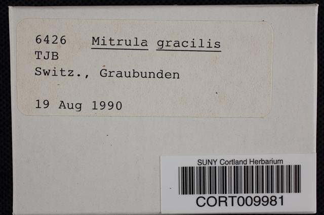 Bryoglossum gracile image