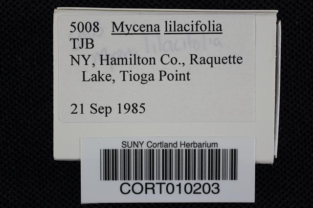 Image of Mycena lilacifolia