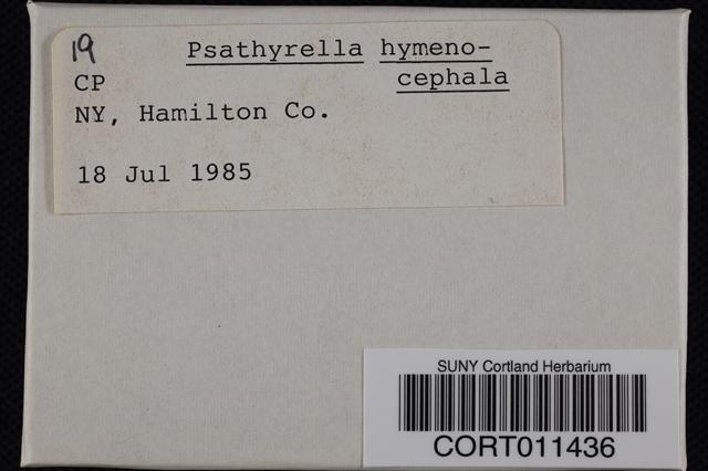 Psathyrella hymenocephala image