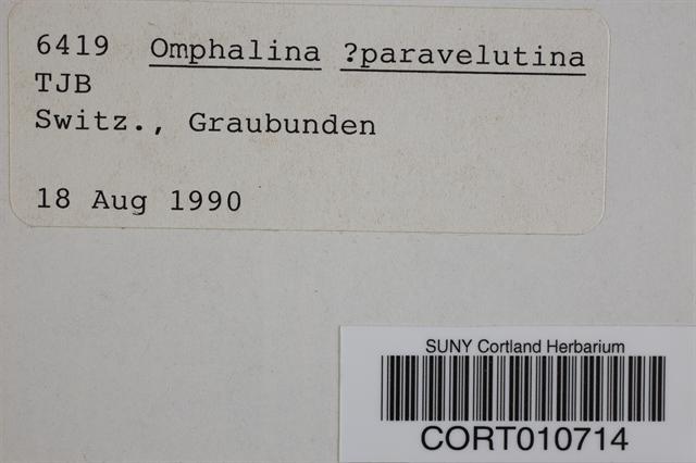 Arrhenia parvivelutina image