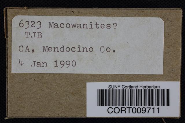 Macowanites image