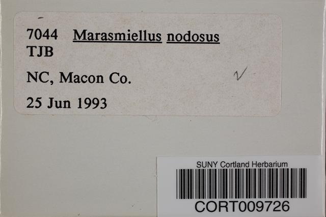 Image of Marasmiellus nodosus