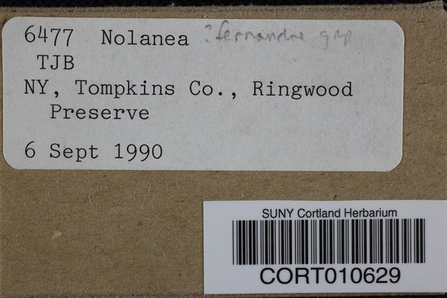 Image of Entoloma fernandae