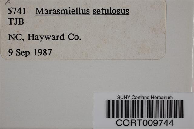 Image of Marasmiellus setulosus