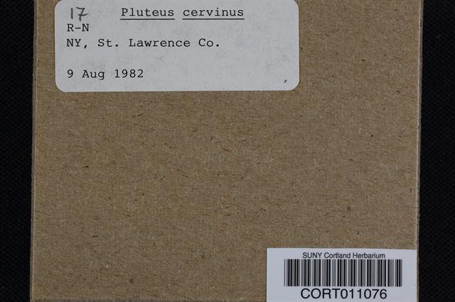 Pluteus cervinus image