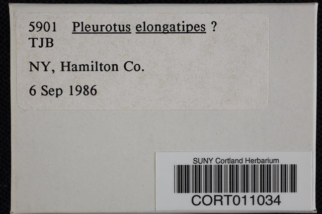 Image of Pleurotus elongatipes